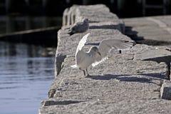 Gull Landing Granite Seawall. A young seagull landing on a sturdy granite seawall Stock Image