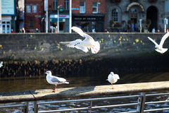 Gull Landing Royalty Free Stock Photography