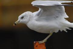 Gull Landing Stock Image