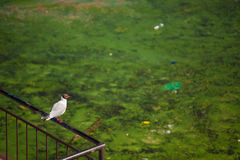 Gull. Landscape with the gull and polluted green river Stock Photography