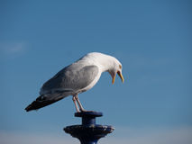 Gull on a lantern Royalty Free Stock Images