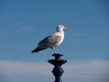 Gull on a lantern. Blue sky stock photos