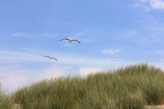 Gull  Larus argentatus Stock Photography