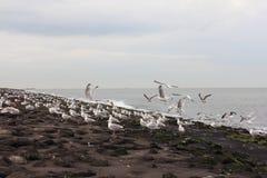 Gull  Larus argentatus Royalty Free Stock Photos