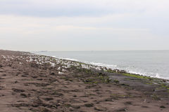 Gull  Larus argentatus Royalty Free Stock Image