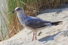 Gull  Larus argentatus Royalty Free Stock Photo