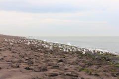 Gull  Larus argentatus Stock Image