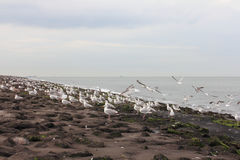 Gull  Larus argentatus Stock Photos