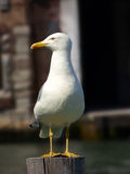 Gull, Larus fuscus, standing on a pile and lies in wait for tourists Stock Image