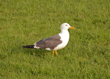 The gull Larus fuscus Stock Photos