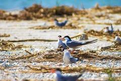 Gull le uova covano in nidi sulla spiaggia, fondo della natura della fauna selvatica fotografia stock libera da diritti