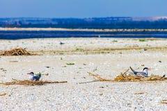 Gull le uova covano in nidi sulla spiaggia, fondo della natura della fauna selvatica immagini stock