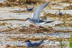 Gull le uova covano in nidi sulla spiaggia, fondo della natura della fauna selvatica fotografia stock
