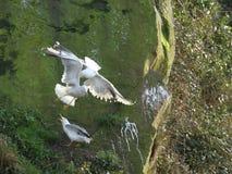 gull legged желтый цвет Стоковые Изображения RF