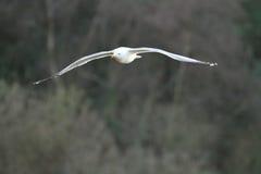 gull legged желтый цвет Стоковое Фото