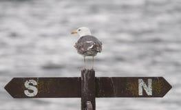 Gull, Lesser Black Back Royalty Free Stock Photos
