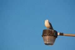 Gull on Light Fixture. A seagull resting on the top of a light fixture Royalty Free Stock Images