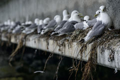 Gull Line-up. A bridge in Valdez, Alaska is used as nesting grounds by a line of gulls Royalty Free Stock Images