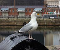 The gull in Liverpool. Great art photo stock photos