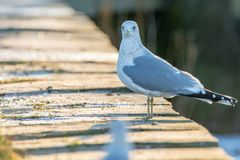 Seagull stands at a harbor wall and looks into the camera stock photography