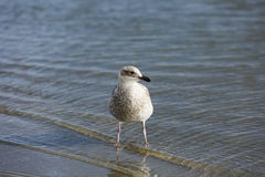 A gull looking for food along the shoreline Stock Photography
