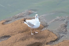 Gull Looking up at You Stock Images
