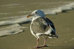 Gull at Malibu Beach. Seagull on the beach at Malibu, California Royalty Free Stock Images