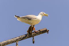 Gull on mast. Sea gull sitting on a mast of a grounded vessel Royalty Free Stock Photo