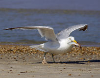 Gull with meal Stock Image