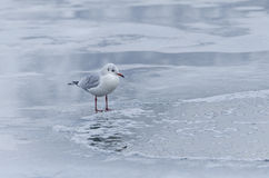 Gull on melting ice Stock Photos