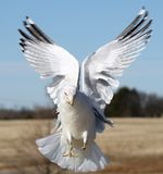 Gull in mid flight Royalty Free Stock Photos
