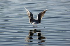 Gull in middle of water. Sea gull perched on object in middle of water, with reflection on surface of water Stock Photo