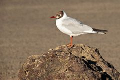 Gull in Namafjall Iceland. Gull in geothermal Namafjal area - Iceland stock photos