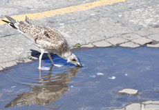 The gull narcissus Royalty Free Stock Images
