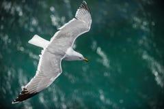 Gull nell'aria sopra l'acqua con le ali spante (ridibundus di larus) fotografia stock