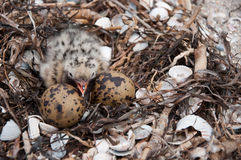 Gull nest Royalty Free Stock Photography