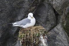 Gull nest Stock Image