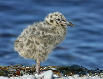 Gull nesting stock photos