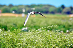 Gull nesting Stock Images