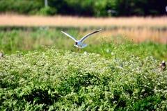 Gull nesting Stock Image