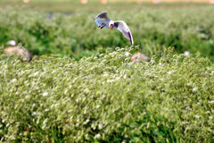 Gull nesting Royalty Free Stock Photography