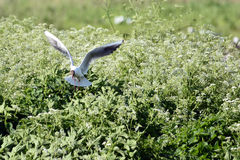 Gull nesting Stock Photography