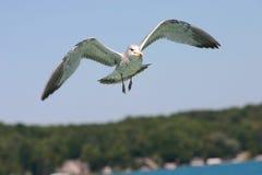 Gull no vôo Imagens de Stock