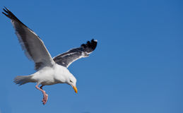 Gull or often informally called seagull Stock Images