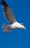 Gull or often informally called seagull Royalty Free Stock Photo