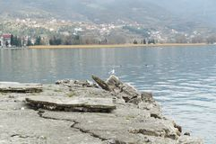 Gull on the Ohrid lake Stock Image