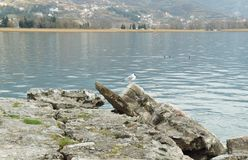 Gull on the Ohrid lake Royalty Free Stock Photography