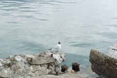 Gull on the Ohrid lake Stock Photography