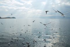 Gull on the Ohrid lake Royalty Free Stock Images
