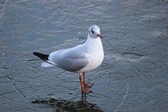 Free Gull On Ice Royalty Free Stock Image - 40290156